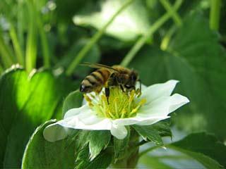 ミツバチが受粉中