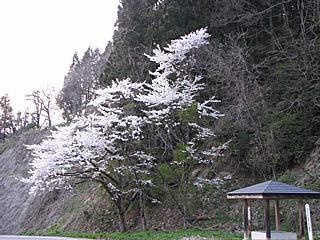 会津磐梯・喜多方ツーリング/桜の花